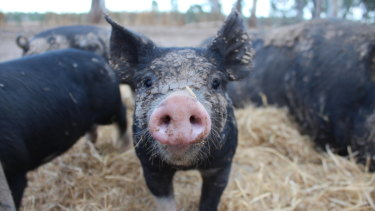 Lauren Mathers' pigs have almost an acre each in which to roam and play.