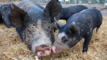 'We have a lot of inquiries for little pigs ... but the big abattoirs can't kill them,' says farmer Craig Brown.