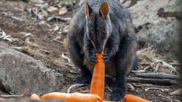 Endangered Brush-tailed Rock-wallabies in fire-affected areas have received a food drop of carrots and sweet potato.