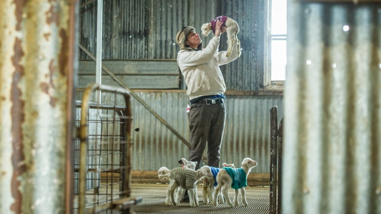 Yass farmer Rachel Allen rugs up her day old lambs in hand-knitted jumpers to help them survive the winter during the drought.