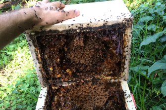 UQ researchers have identified the honey from native stingless bees contains a rare type of sugar which matches many of the health claims made about the honey.