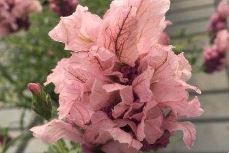 """""""Lavish rose"""" lavender."""