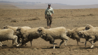 Dry and hot times: Sheep farmer Andrew Rolfe inspects his flock on his property near Cooma in southern NSW.