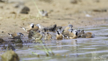 A flock of black-throated finches at Adani's Carmichael mine site in Queensland's Galilee Basin