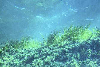 Seagrass in a Shark Bay meadow, showing the deep, carbon-rich soil beneath.