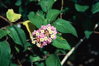 It turns out that lantana does not grow itself.