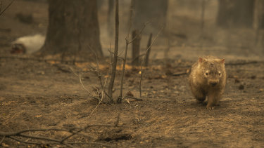 A wombat in the charred remains of a Kangaroo Valley bushfire.
