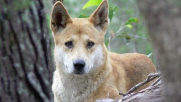 Brisbane City Council is investigating after it was found residents had registered dingoes as pets.