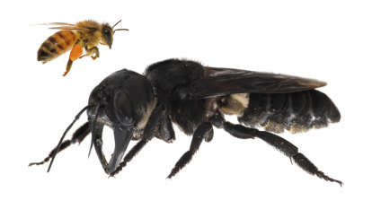 Scientists re-find thumb-sized giant bee dubbed the 'flying bulldog'
