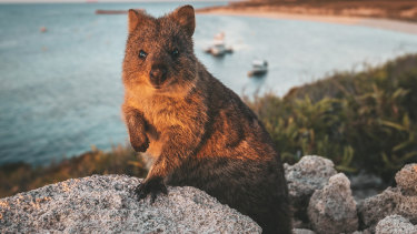 Rottnest Island's most famous resident – the quokka. Now, the island is being used to quarantine cruise ship passengers.