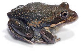 An eastern banjo frog, also known as a pobblebonk.