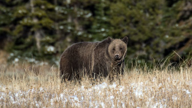 Climate change's effects in the park may bring species like the grizzly bear into closer contact with human habitats.
