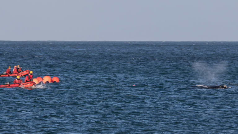 'Tangles' the whale near Portland on August 11.