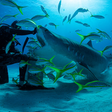 Diver Neal Watson took surfer Mick Fanning swimming with tiger sharks in the Bahamas for the documentary Save This Shark.