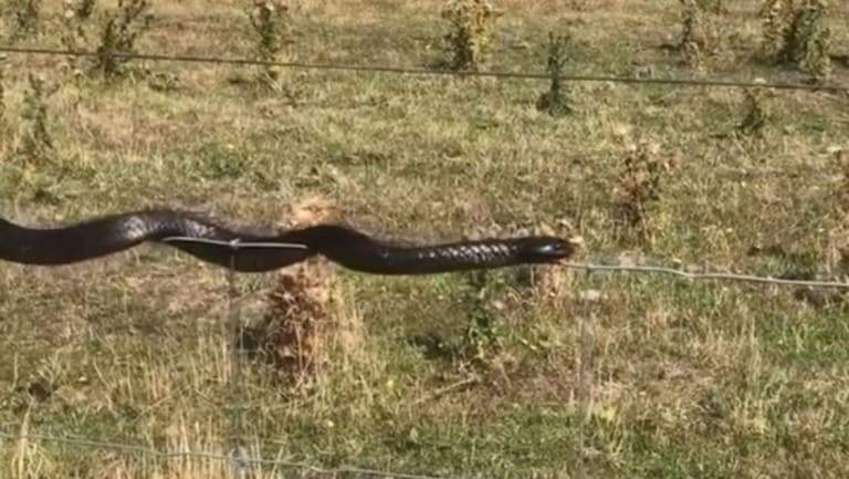 A tiger snake has been filmed slithering along the top of a wire fence in Tasmania.