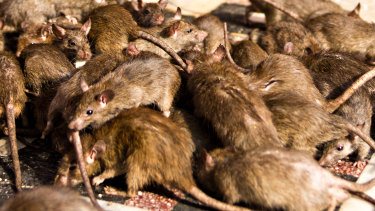 Swarms of rats can turn on each other in the fight for food.
