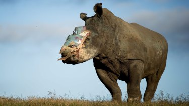 Hope, a four-year old rhino who survived a poaching attack thanks to dramatic intervention by specialist medical staff, recovers at Shamwari Game Reserve in the Eastern Cape, South Africa, in 2015. Hope was attacked by poachers, who darted her with tranquillising drugs and hacked off her horn, leaving her for dead. Major surgery was performed by Dr Gerhard Steenkamp of the University of Pretoria and a veterinary team to fit a protective plate to cover the wound.