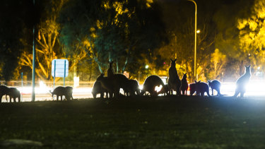 More kangaroos are moving into suburban Canberra.