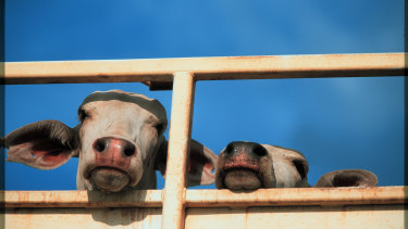 Cattle wait on a road train in Darwin to be loaded onto ships for live export.