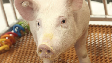A GalSafe pig, genetically engineered to eliminate a particular sugar that causes rejection by humans.