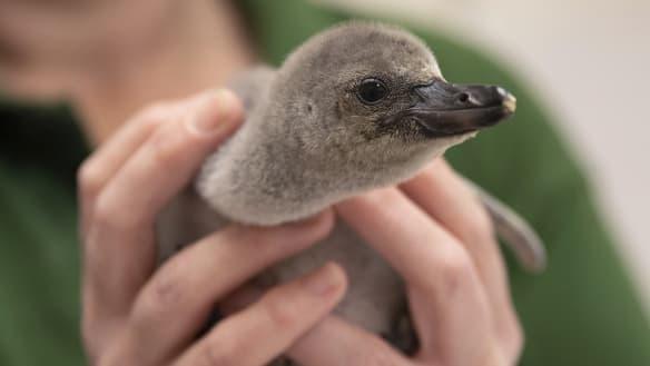 Premature baby penguin saved after parents broke her egg