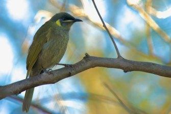 Lewin's honeyeater is an Australian bird species seeing increasing rates of avian malaria.