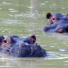 Just shoot them: scientists want Colombia's 'cocaine hippos' culled