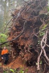 Arborist Mark Calvi in front of a fallen pine tree on Ridge Road, Mount Dandenong.