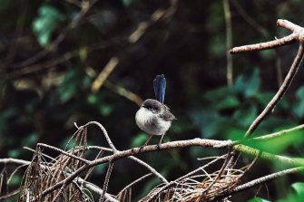 Fairy wrens are among the woodland birds that have found a haven in the restored areas of the Sydney Olympic Park.