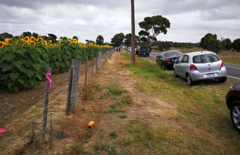 Cars line the road alongside Max Winter's sunflower crop at lunchtime last Sunday.