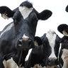 Coles, Woolies lift milk price to help drought-stricken farmers