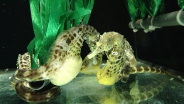 Adult male  pot-bellied seahorses in the laboratory.