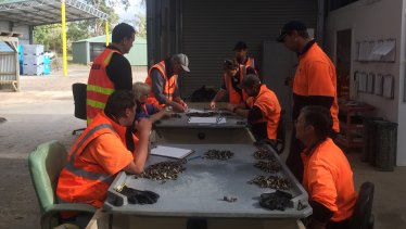 The ASI team study the mortality rates of Pacific oysters.