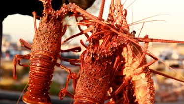 Fresh Australian rock lobsters are a big export to China but tonnes are now being held up.