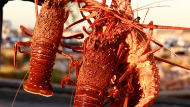Lobster fishers can sell off their boats now in a bid to minimise the economic fallout from the pandemic.
