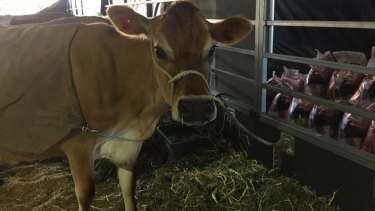 Jersey cow Comerica Cluster waits to be judged in the RNA's cutest cow awards.