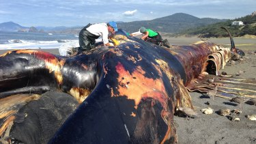 The giant blue whale that washed ashore near Gold Beach, Oregon.