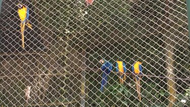 Macaws in a semi-closed forest cage at the vertical cemetery. Tucans and other animals are able to come and go.