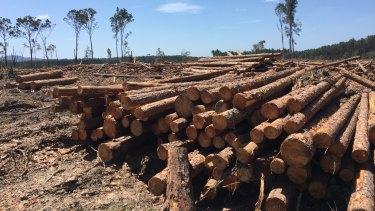 Plantation timber near Tewantin.