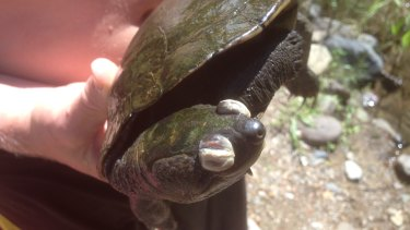 A virus-hit Bellinger River snapping turtle, collected by Rowan Simon and a friend.