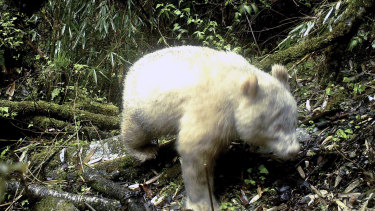 A rare all-white giant panda captured by an infra-red triggered remote camera at the Wolong Nature Reserve in south-west China's Sichuan province.