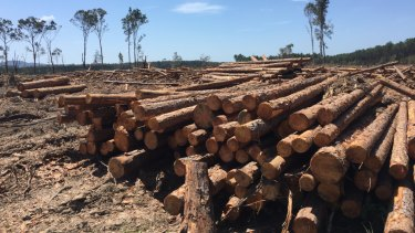 Plantation timber near Tewantin.