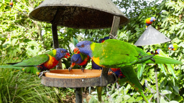 Rainbow lorikeets are increasingly suffering from a strange disease that leaves them paralysed.