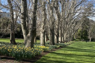 Thousands of daffodils at Fitzroy Gardens.