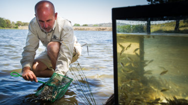 ACT government aquatic ecologist, Mark Jekabsons, releases Golden Perch in Lake Ginninderra.