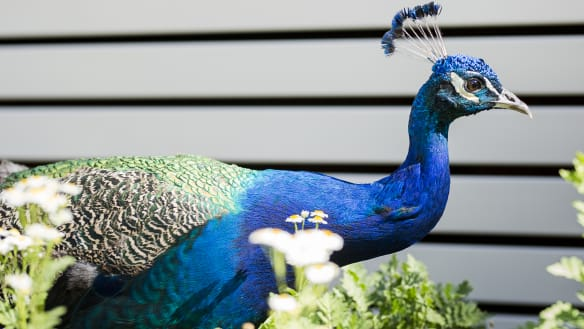 RSPCA 'disturbed' by plan to get rid of Canberra's feral peacocks