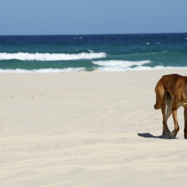 A young female dingo known as Yellow Tag was the first and only sighting by the advocates on the warm Saturday.