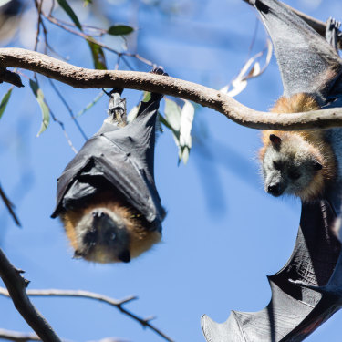 Bats at Yarra Bend during a heatwave. Volunteers hosed them to try to cool them.
