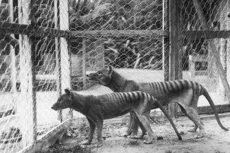 Tasmanian tigers or Thylacines at Beaumaris Zoo, Hobart in 1918