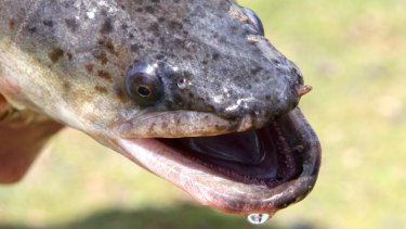 Long-finned eels inhabit the freshwater of the eastern Australia, from Cape York to Wilsons Promontory.